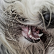 Bearded collie — Stock fotografie #21186483