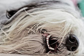 Bearded collie detail — Stock Photo