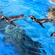 Floating penguins — Stock Photo