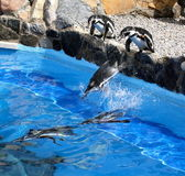 Jumping Penguins — Stock Photo