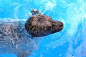 Floating seal — Stock Photo