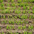 Stock Photo: Green field with sprouted wheat, close up