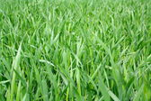 Green field with young wheat plant — Foto Stock