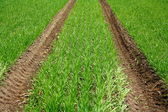 Green field with young wheat plant and tractor track — Stock Photo