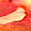Red and yellow tree leaves with water drops — Stock Photo #34753573
