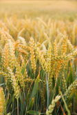 Ripe wheat ears on field as background — Stock Photo