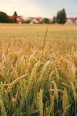 Ripe wheat ears on field background — Stock Photo
