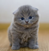 Funny little British kitten — Stock Photo