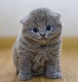 Funny little British kitten — Stock Photo