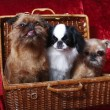 The group of dogs. Two of the Brussels Griffon, Japanese Hin - Stock Photo