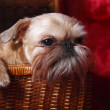 Wailful Brussels Griffon in a wicker basket — Stockfoto