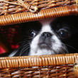 Japanese Chin in a wicker basket - Stock Photo