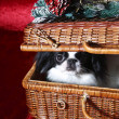 Royalty-Free Stock Photo: Japanese Chin in a wicker basket
