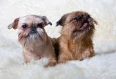 Two Griffon Bruxellois — Stock Photo
