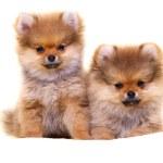 Pomeranian puppy — Stock Photo #25987643