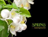Apple blossom isolated on black — Stock Photo