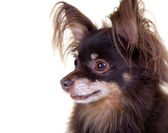 Close-up portrait of old pedigree dog long-haired toy terrier on — Stock Photo