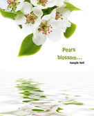 Blossoming pear on a white background — Stock Photo