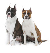 Two american Staffordshire terrier on a white background — Stock Photo