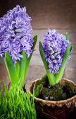 цветы гиацинты — Стоковое фото