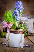 Flowers hyacinths — ストック写真