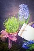 Jacinto flores — Foto de Stock