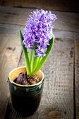 Flowers hyacinths — Foto Stock