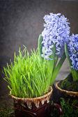 Flowers hyacinths — Foto de Stock