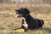 Great Dane dog walking outdoor — Stock Photo