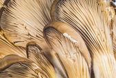 Delicious Pleurotus Agaricales Mushrooms on wooden background — Zdjęcie stockowe