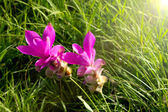 Siam Tulip flowers in sunshine day — Stock Photo