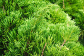 Green branches of pine tree — Photo