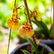 Stock Photo: Dancing Lady orchid (Oncidium Varicosum)