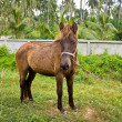 Dwarf horse in garden — Stock Photo