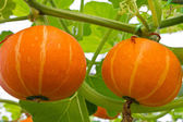 Fresh orange pumpkin in the greenhouse. — Stock Photo