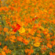 Orange Cosmos flowers, Sulfur Cosmos — Stock Photo