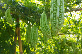 Bitter melon growing on a vine in garden. — Stock Photo
