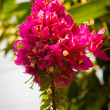 Flowering bougainvillea. — Stock Photo