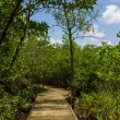 Boardwalk through the mangroves  — Stock Photo