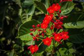 Closeup kalanchoe red flowers. — Stock Photo