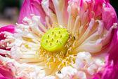 莲花,枯萎的百合. — 图库照片
