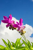 Siam Tulip flowers with grass and sky — 图库照片