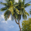 Strange coconut tree — Stock Photo