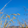 Dry grass and blue sky — Stock fotografie