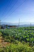 Cabbage field in the mountain — Stock Photo