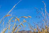 Erba secca e cielo blu — Foto Stock