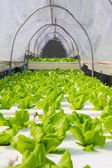 Organic hydroponic vegetable in greenhouse. — Stock Photo