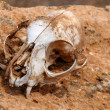 Squirrel's skull abandoned in the desert — Stock Photo