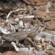 Canarian lizard — Stock Photo