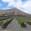 Volcanic Vineyard — Stock Photo